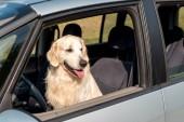 Krásný zlatý retrívr pes při pohledu z okna auta v poli