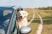 rozkošný zlatý retrívr pes při pohledu z okna auta v poli