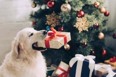close up view of cute golden retriever sitting with gift box in mouth near christmas tree at home