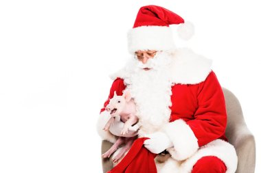 happy santa claus sitting in armchair and petting little pig isolated on white