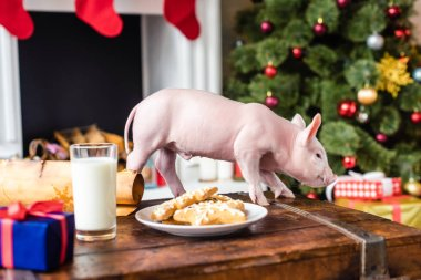 cute little pig on wooden chest with cookies and glass of milk at christmas time