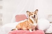 niedliche Pembroke Welsh Corgi sitzt auf Bett zu Hause