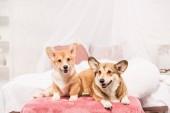 Fotografie rozkošný pembroke velšský corgi psi ležící na posteli doma