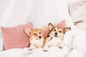 funny pembroke welsh corgi dogs lying in bed at home