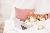 cute pembroke welsh corgi dogs lying in bed with laptop at home