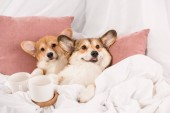 Fotografie pembroke welsh corgi dogs lying in bed with white cups at home