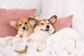 cute pembroke welsh corgi dogs lying in bed with white cups at home