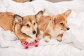 Fotografie roztomilý pembroke welsh corgi psy ležet v posteli s joystickem doma