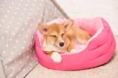 cute pembroke welsh corgi dog lying in soft pet house at home