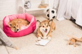 adorable welsh corgi dogs resting in soft pet house and on fluffy rug at home