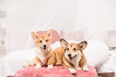 adorable pembroke welsh corgi dogs lying on bed at home