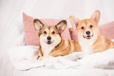adorable welsh corgi dogs lying in bed and looking at camera at home