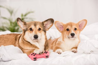 adorable welsh corgi dogs lying in bed with joystick at home