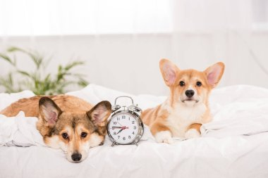cute pembroke welsh corgi dogs lying in bed with alarm clock at home