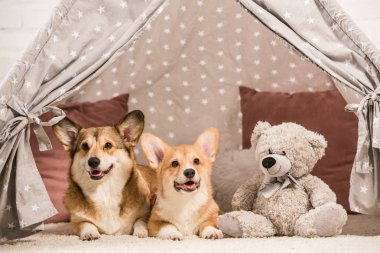 Cute pembroke welsh corgi dogs lying in wigwam with teddy bear at home stock vector
