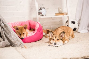 cute welsh corgi dogs resting in soft pet house and on fluffy rug at home