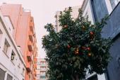 Fotografie urban scene with orange tree and multicolored houses, barcelona, spain