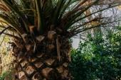 Detailní záběr z palm kmen stromu v parc de la ciutadella, barcelona, Španělsko