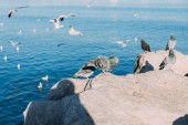 selective focus of pigeons sitting on coast rocks and seagulls flying over sea, barcelona, spain