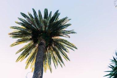 straight tall palm tree on blue sky background, barcelona, spain