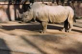 Photo grey rino in zoological park,  barcelona, spain