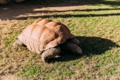 Fotografie giant turtle eating grass in zoological park, barcelona, spain