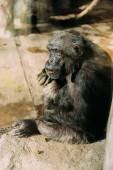 Vicces csimpánz ül a kő Zoológiai park, barcelona, Spanyolország