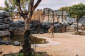 legrační giraff procházky kolem rybníka v zoologický park, barcelona, Španělsko
