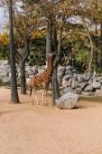 vicces zsiráf séta között fák Zoológiai park, barcelona, Spanyolország