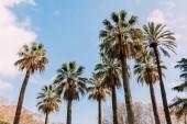 magas egyenes pálmafák a kék ég háttér, barcelona, Spanyolország
