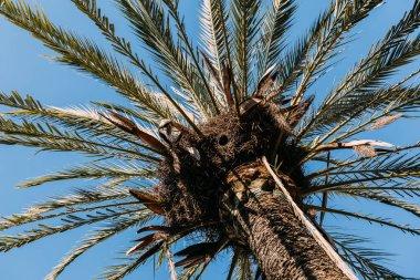 tall green palm tree on clear blue sky background, barcelona, spain