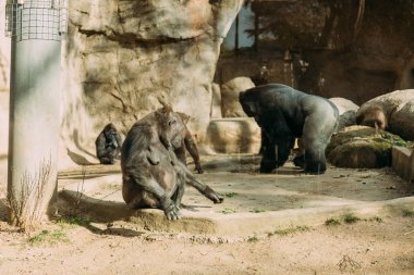 chimps and gorilla in zoological park, barcelona, spain