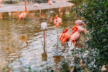 Flock of flamingos walking in pond in zoological park, barcelona, spain stock vector