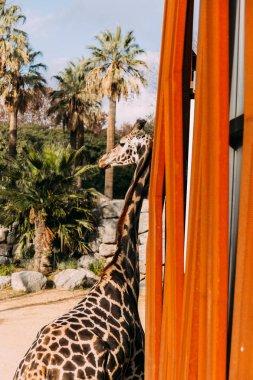 Funny giraffe in zoological park, barcelona, spain stock vector