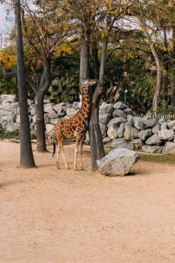 Giraffe walking between trees in zoological park, barcelona, spain stock vector