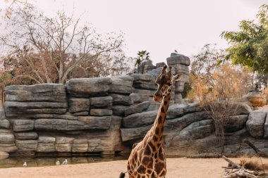 Funny giraffe walking in zoological park, barcelona, spain stock vector