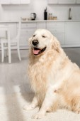cute and adorable golden retriever sitting on floor in kitchen