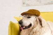 vicces, aranyos, aranyos Arany-Vizsla cap és szemüveg