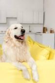roztomilý zlatý retrívr ležící na žluté pohovce a hledat dál