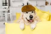 aranyos golden retriever cap és szemüveg feküdt, és keres el