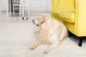 roztomilý zlatý retrívr ležící na podlaze a koukal v kuchyni