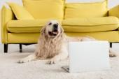 aranyos golden retriever feküdt padlón, laptop, lakás