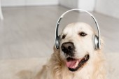 roztomilý zlatý retrívr poslech hudby ve sluchátkách v bytě