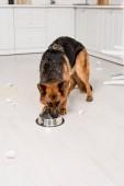 süße Schäferhund Hund Essen vom Metallschale in messy Küche
