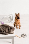 selektiver Fokus von grauer Katze auf Tisch liegend und Schäferhund auf dem Boden in unordentlicher Küche sitzend