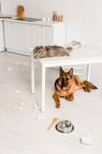 niedliche graue Katze auf weißem Tisch liegend und Schäferhund auf dem Boden liegend in unordentlicher Küche