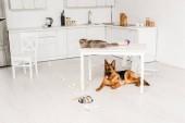 roztomilý a šedá kočka ležící na bílém stole a německého ovčáka ležel na podlaze v kuchyni