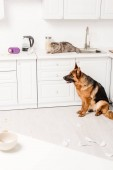 cute and grey cat lying on white surface and German Shepherd sitting on floor in messy kitchen