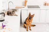 Fotografie niedliche graue Katze auf weißer Oberfläche liegend und Schäferhund auf dem Boden in unordentlicher Küche sitzend