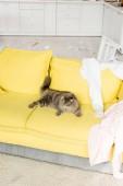 roztomilý a šedá kočka ležící na zářivě žluté pohovce v bytě nepořádek